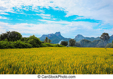 Sunhemp or Crotalaria juncea flower field with Khao Jeen Lae...