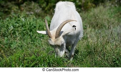 White goat on leash eating grass - White goat on a leash...