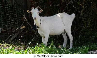 White goat on leash standing near the fence - White goat on...