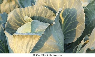 Cabbage harvest close-up - big, ripe fresh head of cabbage,...