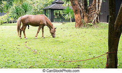 horse grazing - halter brown horse grazing on the grass in...