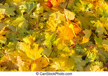 Background of fallen varicolored maple leaves in autumn...