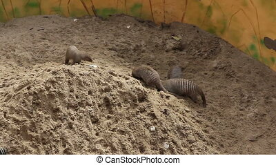 Banded mongoose Mungos mungo digging the ground.