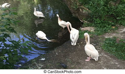 White Pelican Pelecanus onocrotalus in the Moscow zoo,...