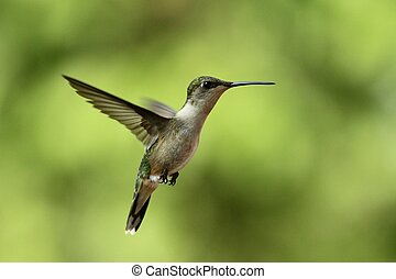 Hovering Hummer - A Hummingbird hovering near its feeder in...