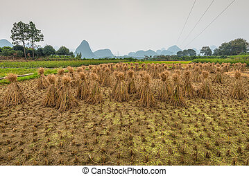 Rice field after harvesting and rice straw bales - Rice...