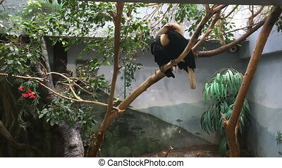 Papuan hornbill sitting on tree branch
