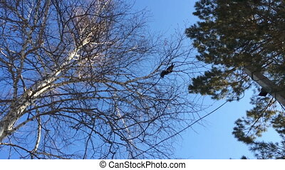 Squirrel jumps on branches of trees