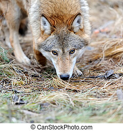 Wild wolf in forest - Grey wild wolf (Canis lupus) in forest