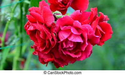 Red roses washed by rain - A Red roses washed by rain