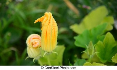 Blossoming zucchini in the garden - A Blossoming zucchini in...