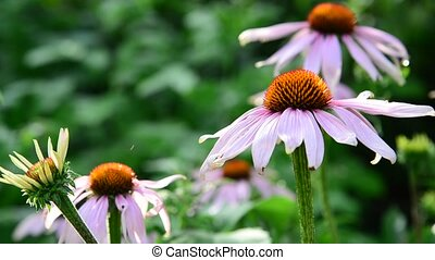echinacea flowers in the garden - An echinacea flowers in...
