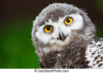 Snowy owl chick - Portrait of snowy owl chick on a green...