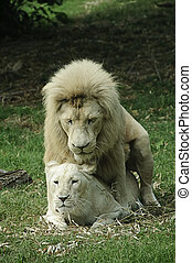 White lion and lioness mating