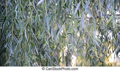 The branches of weeping willow close-up