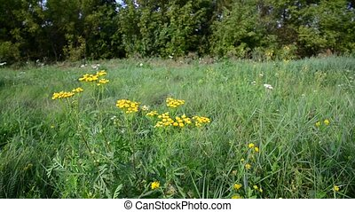 Tansy flowers on meadow in the central part of Russia -...