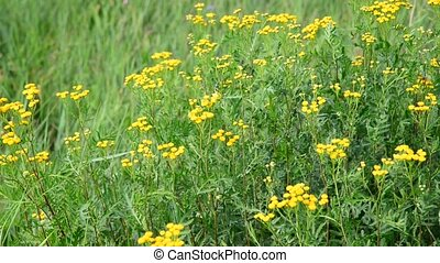 Many of tansy in meadow in summer - Many of tansy in the...