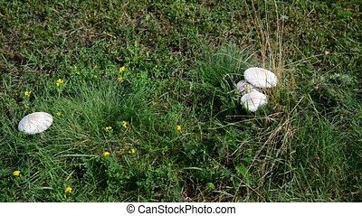 Edible white mushrooms growing in meadow - Edible white...