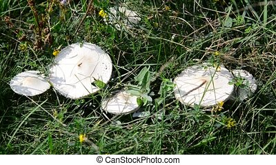 Edible mushrooms growing in meadow - Edible white mushrooms...