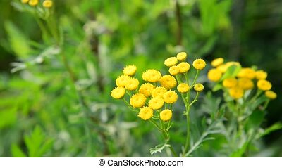 Flowering tansy close up in nature - Flowering tansy close...