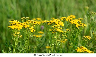 Yellow Flowering tansy close up in nature - Flowering tansy...