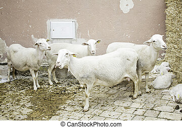 Sheep in pen - Sheep with lambs in feedlots, agriculture and...