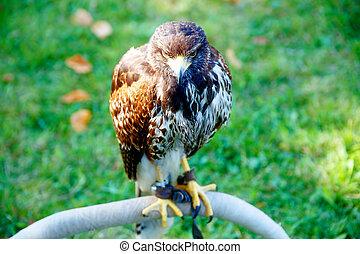 beautiful bird of prey, common buzzard, sitting on setting pole.