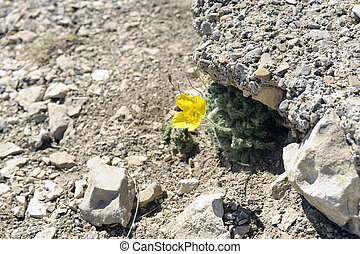 Small yellow flower isolated in a dry rocky environment at...
