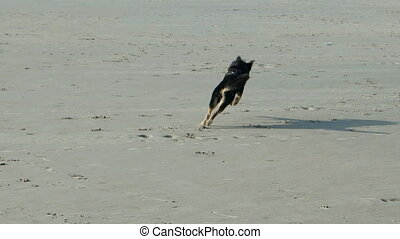 Dog playing on a North Sea Beach in