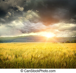 Field of wheat with ominous clouds approaching