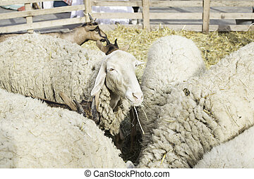 Sheep and goats in corral livestock, animals and nature