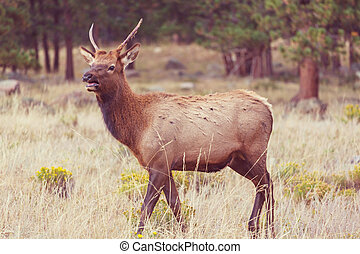 Elk - Wild elks grazing on a meadow in the Rocky Mountain...
