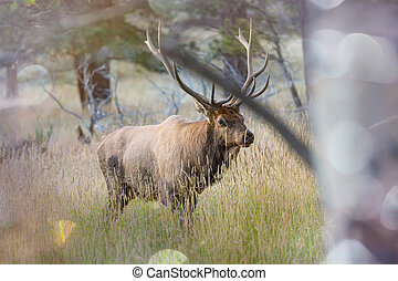 Elk - Wild elks grazing on a meadow in the Rocky Mountain...