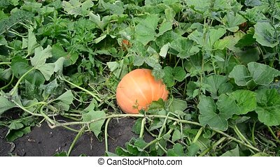 Big pumpkin on a bed in garden - Big pumpkin on a bed in the...