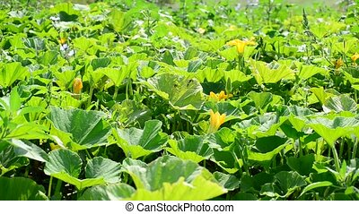 Field pumpkin with yellow flowers