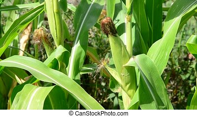 Corn cob with ripe in garden