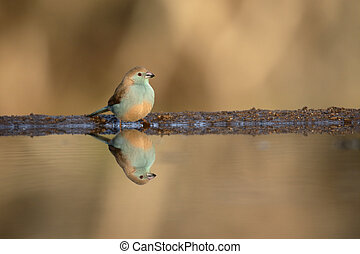 Blue waxbill or blue-breasted cordon-bleu, Uraeginthus...