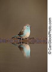 Blue waxbill or blue-breasted cordon-bleu, Uraeginthus...