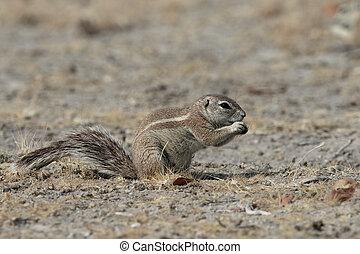 Cape ground-squirrel, Xerus inauris, Single mammal on floor,...