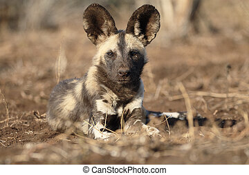 African cape hunting dog, Lycaon pictus, single mammal,...