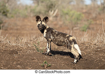 African cape hunting dog, Lycaon pictus, single mammal
