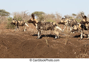 African cape hunting dog, Lycaon pictus, pack of dogs, South...