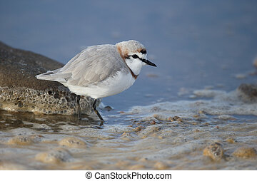 Chestnut-banded plover, Charadrius pallidus, single bird by...