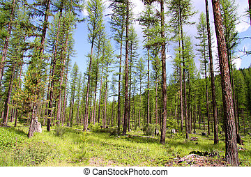 Tall pine trees - Scenic landscape of tall pine trees in...
