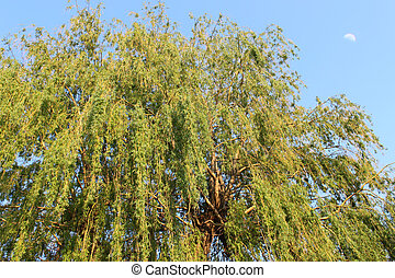 Willow tree - Weeping willow tree against blue sky