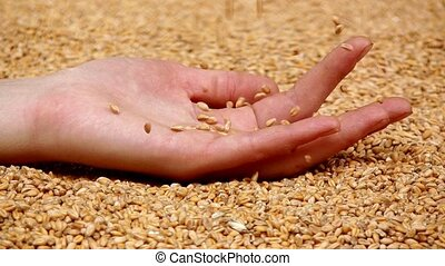 Grain - Female hand with grain of wheat
