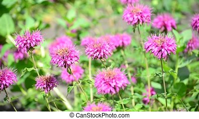 Pink flowers in the garden on bed - Pink flowers in the...