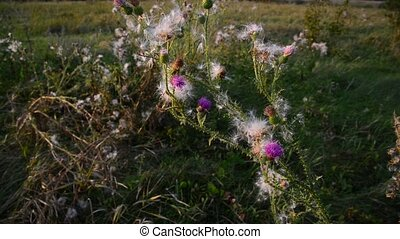 Creeping thistle or pink sow-thistle Latin name - Cirsium...