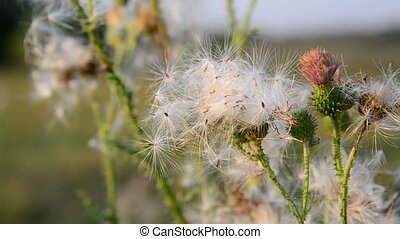 Creeping thistle or pink sow-thistle . Latin name - Cirsium...