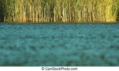 reeds on the lake background